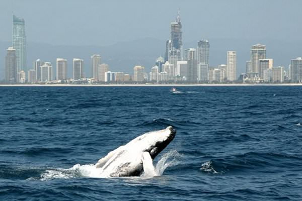 GOLD COAST WHALE WATCH CRUISE WITH OPTIONAL ISLAND ADVENTURE AND LUNCH