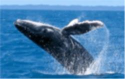 TANGALOOMA ISLAND WHALE WATCHING CRUISES